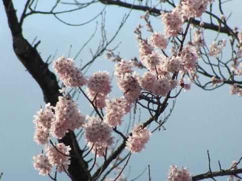 20114sakura04s.JPG