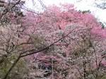 2011sakura-0410-01.jpg
